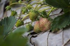 Φρέσκια φράουλα στον κήπο Στοκ Εικόνες