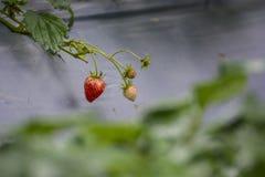 Φρέσκια φράουλα στον κήπο Στοκ φωτογραφία με δικαίωμα ελεύθερης χρήσης
