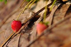 Φρέσκια φράουλα σε ANG Khang, Ταϊλάνδη Doi Στοκ Φωτογραφία