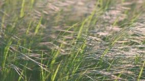 Φρέσκια χλόη που ταλαντεύεται στον αέρα φυσήματος σε σε αργή κίνηση φιλμ μικρού μήκους