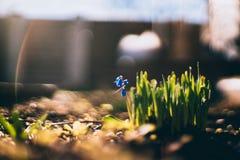Φρέσκια χλόη και μικρό μπλε λουλούδι στην άνοιξη στοκ φωτογραφία με δικαίωμα ελεύθερης χρήσης