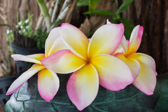 Φρέσκια όμορφη γλυκιά ρόδινη plumeria λουλουδιών ή δέσμη ι frangipani Στοκ Εικόνες