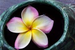 Φρέσκια όμορφη γλυκιά ρόδινη plumeria λουλουδιών ή δέσμη ι frangipani Στοκ Φωτογραφίες