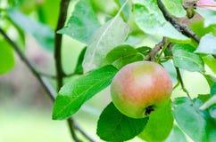 Φρέσκια ώριμη κόκκινη ανάπτυξη μήλων σε ένα δέντρο μηλιάς Στοκ Φωτογραφία