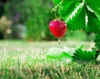 Φρέσκια ώριμη κόκκινη φράουλα Ο Μπους αυξάνεται στον κήπο Στοκ εικόνες με δικαίωμα ελεύθερης χρήσης