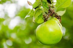 Φρέσκια ώριμη πράσινη ανάπτυξη μήλων σε ένα δέντρο μηλιάς Στοκ φωτογραφία με δικαίωμα ελεύθερης χρήσης
