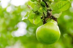 Φρέσκια ώριμη πράσινη ανάπτυξη μήλων σε ένα δέντρο μηλιάς Στοκ Εικόνα