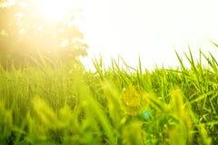Φρέσκια juicy πράσινη χλόη στο χορτοτάπητα Χλόη στον ήλιο και έντονο φως πίσω από τα μόνιμα δέντρα δύο θερινού ηλιοβασιλέματος πε Στοκ Εικόνα