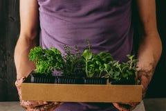 Φρέσκοι μαϊντανός, δεντρολίβανο, βασιλικός, oregano και θυμάρι Κηπουρός που κρατά τα φρέσκα χορτάρια, κινηματογράφηση σε πρώτο πλ Στοκ Εικόνα