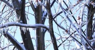 Φρέσκοι οφθαλμοί με τα παγάκια κρυστάλλου που κρεμούν από τους κλάδους δέντρων Λειώνοντας παγάκι και μειωμένες λαμπρές πτώσεις πέ απόθεμα βίντεο