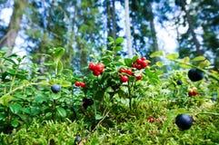 Φρέσκος άγριος lingonberry στο δάσος στοκ φωτογραφίες