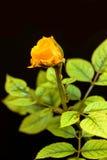 Φρέσκος ένας κίτρινος αυξήθηκε σε ένα μαύρο υπόβαθρο Στοκ εικόνα με δικαίωμα ελεύθερης χρήσης