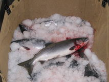 Φρέσκος από την Αλάσκα σολομός Στοκ φωτογραφία με δικαίωμα ελεύθερης χρήσης