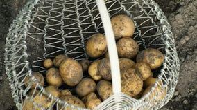 Φρέσκος από τις επίγειες πατάτες σε ένα καλάθι απόθεμα βίντεο