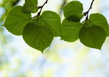 φρέσκος βγάζει φύλλα Στοκ εικόνες με δικαίωμα ελεύθερης χρήσης