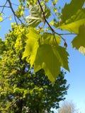 φρέσκος βγάζει φύλλα Στοκ φωτογραφία με δικαίωμα ελεύθερης χρήσης