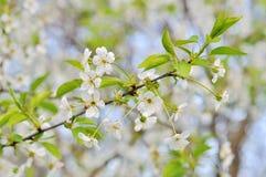φρέσκος κλαδίσκος δέντρων της Apple με τα λουλούδια και τα φύλλα Στοκ Φωτογραφία