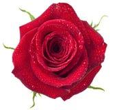 Φρέσκος κόκκινος αυξήθηκε απομονωμένος στοκ εικόνα με δικαίωμα ελεύθερης χρήσης