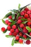 Φρέσκος κόκκινος bayberry Στοκ φωτογραφία με δικαίωμα ελεύθερης χρήσης