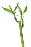 Φρέσκος μίσχος μπαμπού με τα φύλλα Στοκ Εικόνες