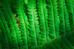 Φρέσκος νέος πράσινος στενός επάνω φύλλων φτερών Στοκ φωτογραφία με δικαίωμα ελεύθερης χρήσης