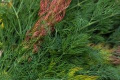 Φρέσκος οργανικός άνηθος ως εικόνα υποβάθρου στοκ φωτογραφίες με δικαίωμα ελεύθερης χρήσης