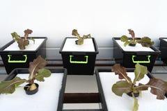 Φρέσκος οργανικός κόκκινος δρύινος πολιτισμός στη aquaponic ή υδροπονική καλλιέργεια E στοκ φωτογραφία με δικαίωμα ελεύθερης χρήσης