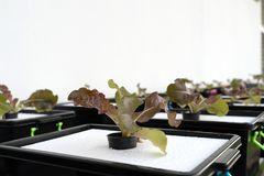 Φρέσκος οργανικός κόκκινος δρύινος πολιτισμός στη aquaponic ή υδροπονική καλλιέργεια E στοκ φωτογραφίες με δικαίωμα ελεύθερης χρήσης
