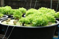 Φρέσκος οργανικός πράσινος δρύινος πολιτισμός στο aquaponic ή υδροπονικό farmi στοκ φωτογραφίες