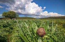 Φρέσκος, οργανικός τομέας αγκιναρών Φωτογραφία έννοιας γεωργίας Ιζμίρ/Τουρκία στοκ εικόνα με δικαίωμα ελεύθερης χρήσης
