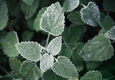 Φρέσκος παγετός στα σκούρο πράσινο nettle φύλλα Στοκ Φωτογραφία