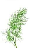 φρέσκος πράσινος άνηθου Στοκ Εικόνες
