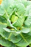 φρέσκος πράσινος λάχανων Στοκ φωτογραφία με δικαίωμα ελεύθερης χρήσης