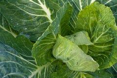 φρέσκος πράσινος λάχανων Στοκ εικόνες με δικαίωμα ελεύθερης χρήσης