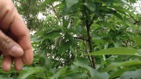 φρέσκος πράσινος αμυγδάλων απόθεμα βίντεο