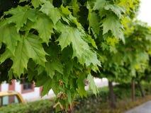 φρέσκος πράσινος βγάζει φύ στοκ εικόνα