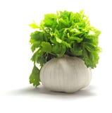 φρέσκος πράσινος μαϊντανός  Στοκ Φωτογραφίες