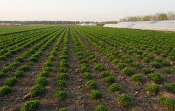 Φρέσκος πράσινος στη γεωργία άνοιξη τομέων Στοκ Εικόνες