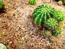 Φρέσκος πράσινος στρογγυλός ακιδωτός κάκτος στην άμμο Στοκ εικόνες με δικαίωμα ελεύθερης χρήσης