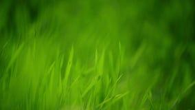 Φρέσκος πράσινος χορτοτάπητας χλόης άνοιξης στο στενό επάνω, φωτεινό δονούμενο φυσικό υπόβαθρο εποχής πρωινού με το ρηχό βάθος το φιλμ μικρού μήκους