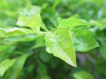 φρέσκος πράσινος Στοκ εικόνα με δικαίωμα ελεύθερης χρήσης