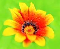 φρέσκος υγρός λουλου&del Στοκ φωτογραφία με δικαίωμα ελεύθερης χρήσης