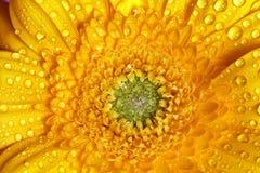 Φρέσκος υγρός χρόνος κινηματογραφήσεων σε πρώτο πλάνο λουλουδιών gerbera την άνοιξη Στοκ Φωτογραφία