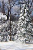Φρέσκος χιονισμένος αειθαλής στην ηλιοφάνεια στοκ εικόνες