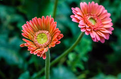 Φρέσκος όμορφος φωτεινός λουλουδιών Στοκ Φωτογραφίες