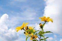 Φρέσκος marigold δέντρων μεξικάνικος ηλίανθος στοκ φωτογραφία με δικαίωμα ελεύθερης χρήσης