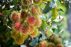 Φρέσκος rambutan από τον κήπο για την πώληση Στοκ Φωτογραφία