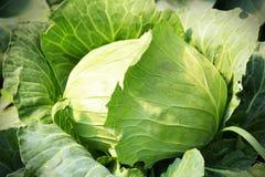 Φρέσκο λάχανο στο φυτικό κήπο Στοκ Εικόνες