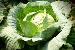 Φρέσκο λάχανο στο φυτικό κήπο Στοκ εικόνες με δικαίωμα ελεύθερης χρήσης