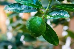 Φρέσκο δέντρο ασβέστη στοκ φωτογραφία με δικαίωμα ελεύθερης χρήσης